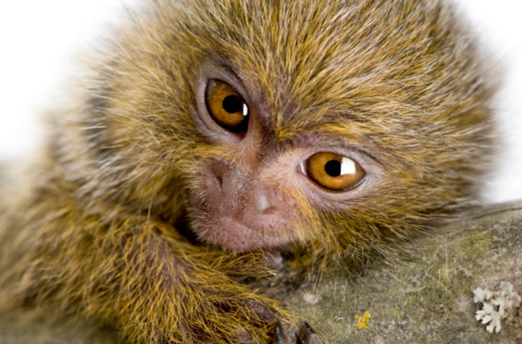 Pygmy Monkeys In Pants