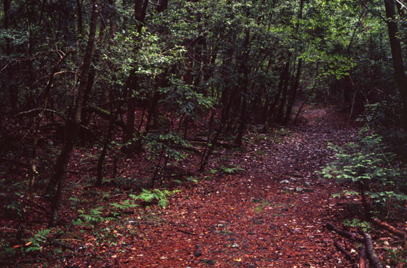 Aokigahara Suicide Forest (near Mount Fuji, Japan)
