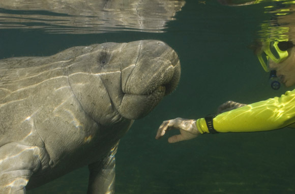 Crystal River, Florida: Manatees