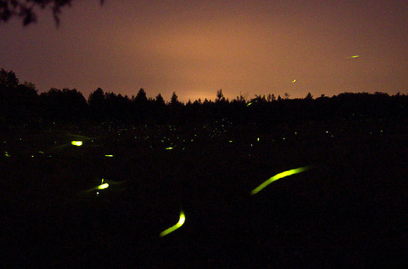 Synchronous Fireflies, Near Gatlinburg, Tennessee