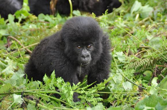 Natalie Portman Promotes Rwanda's Mountain Gorillas