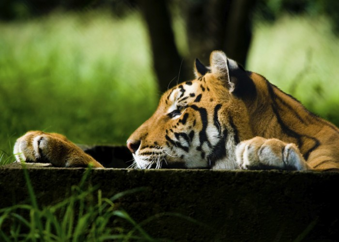 Leonardo DiCaprio Protects Wild Tigers in India and Nepal