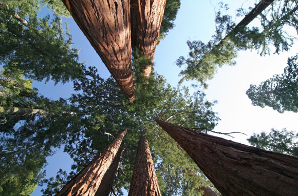 World's Tallest Living Tree: Coast Redwood, California