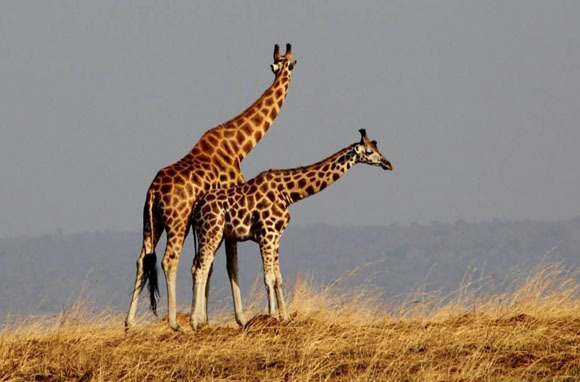 World's Tallest Animal: Rothschild Giraffe, Kenya/Uganda