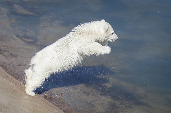 Polar Bear, Ranua Wildlife Park, Finland