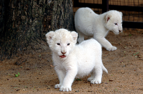 White Lions, Yalta Zoo, Ukraine