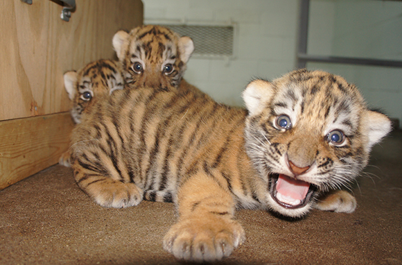 Tigers, Peoria Zoo, Illinois