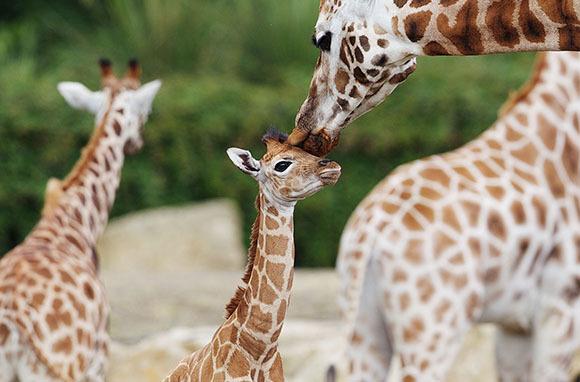Giraffe, Dublin Zoo, Ireland