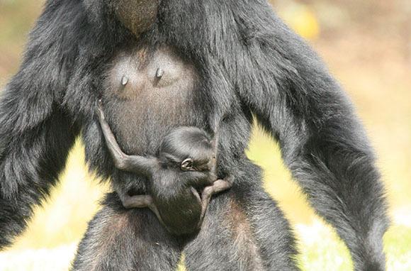Siamang Ape, Taronga Western Plains Zoo, Australia
