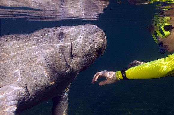 Manatee Snorkel Tour, Florida