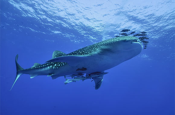 Snorkel with Whale Sharks, Mexico