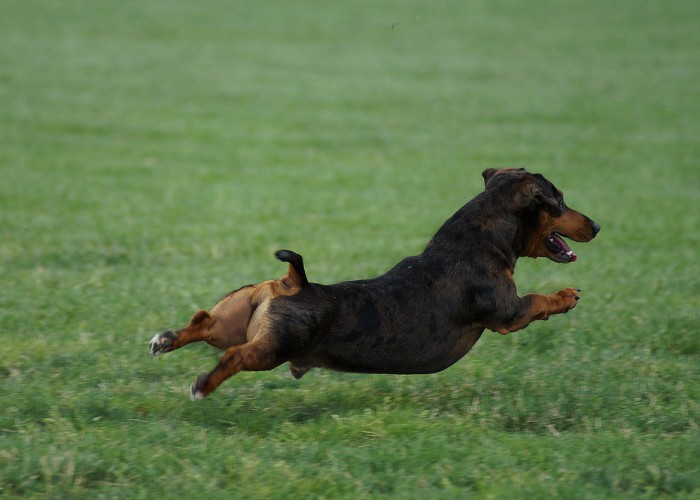 Dachshund Escapes Flight, Causes Hour-Long Tarmac Chase at Newark