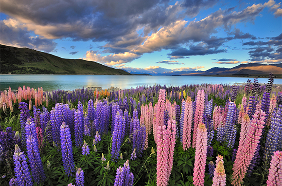 Lovely Lupines on Lake Tekapo