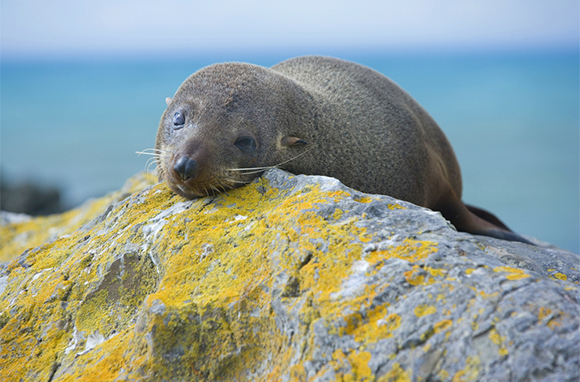 This Southern Fur Seal Is So Cute