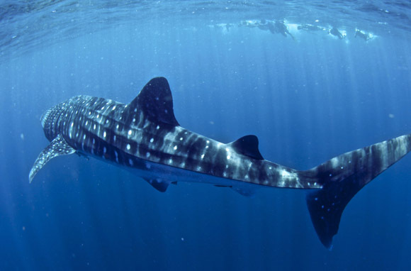Swim with Whale Sharks in Ningaloo Reef, Australia