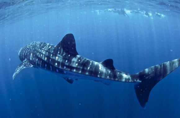 Swim with Whale Sharks in Ningaloo Reef, Australia