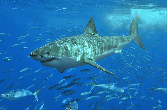 Fear of Sharks: Guadalupe Island, Mexico