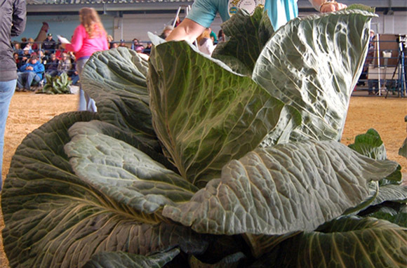 Giant Vegetables in the Mat-Su Valley