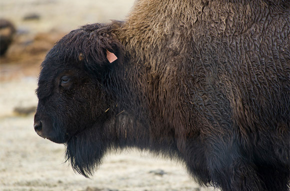 Bears, Bison, And Musk Oxen In Girdwood