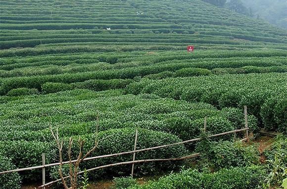 Meijiawu, China: Tea Culture