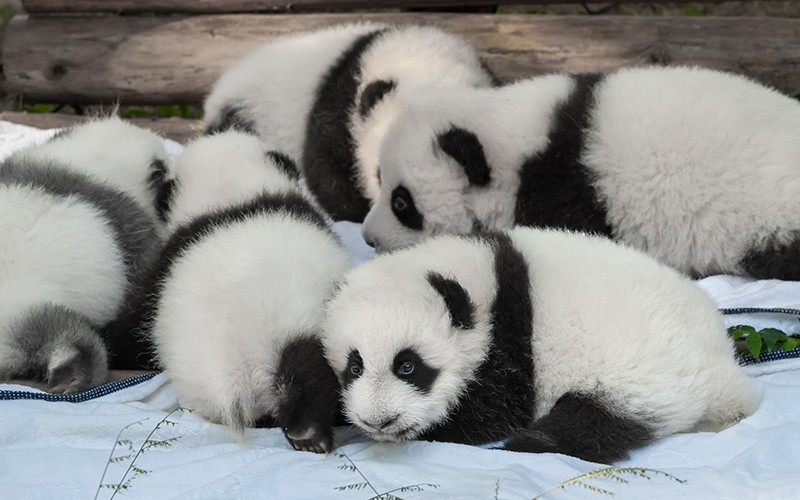 The Top 7 Places To Hang Out With Baby Pandas