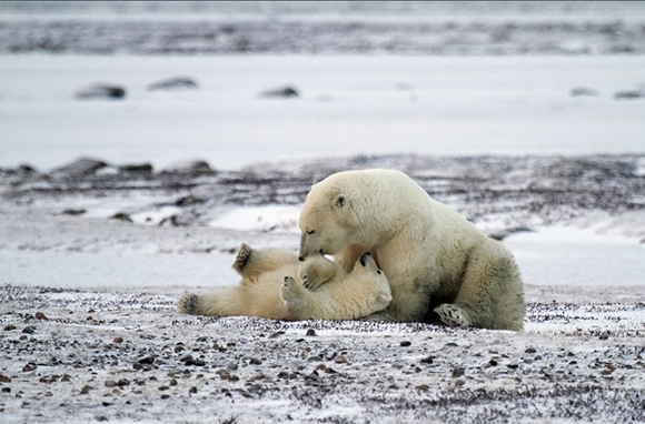 The Arctic's Polar Bear Migration