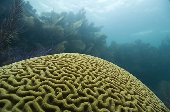 Largest Brain Coral, Tobago