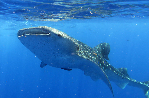 Whale Sharks at Utila, Honduras