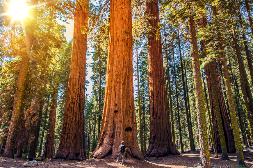Sequoia vs man. giant sequoias forest and the tourist with backpack looking up