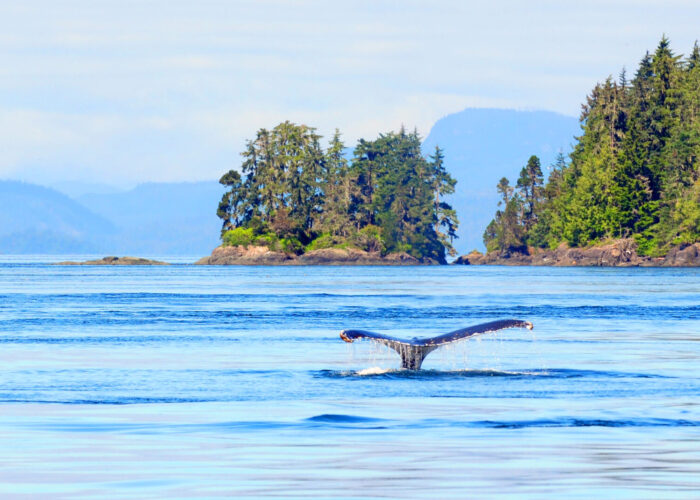 whale in Vancover, Canada, for story on whale and dolphin activities.