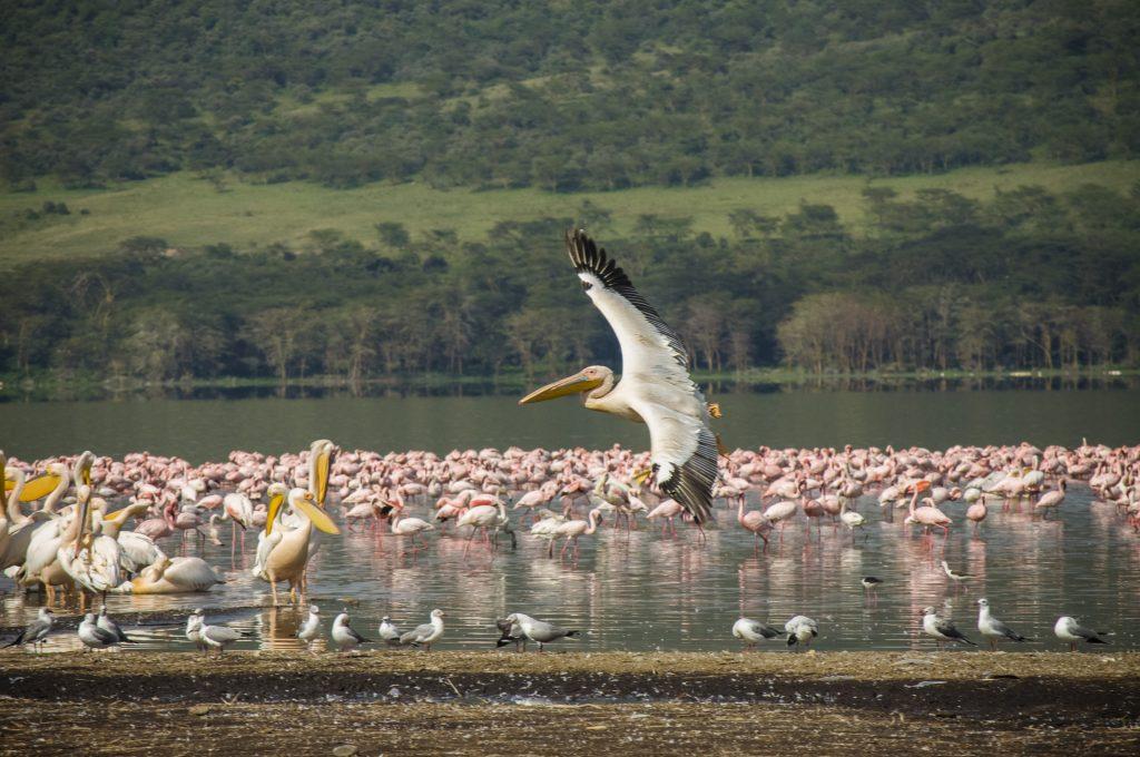 kenya-amboseli-national-park-great-white-pelican-flamingos-dsc0382-lg-rgb