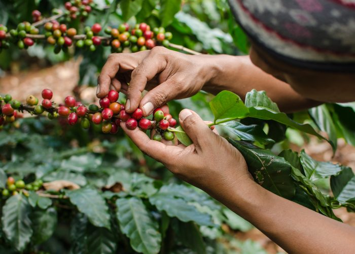 Coffee Plantations Puerto Rico