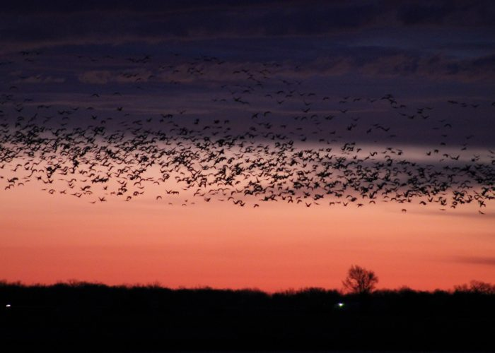 Sandhill Crane migration at sunset over Kearny, Nebraska