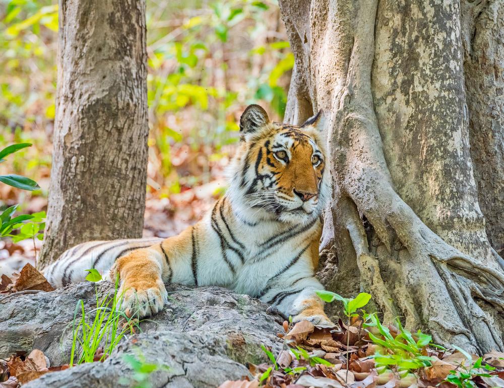 tiger at jim corbett national park
