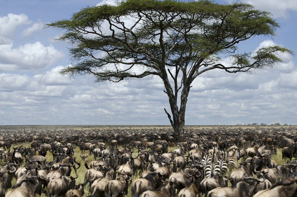 tree and animals at serengeti national park