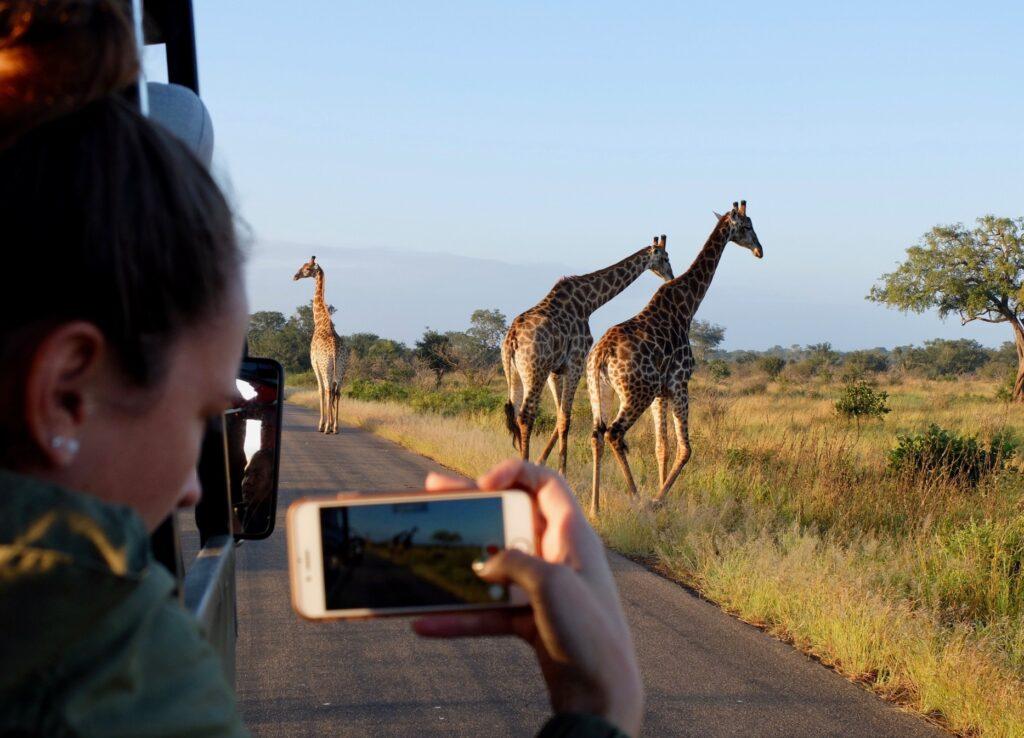 woman taking photo of giraffe out of a safari vehicle.