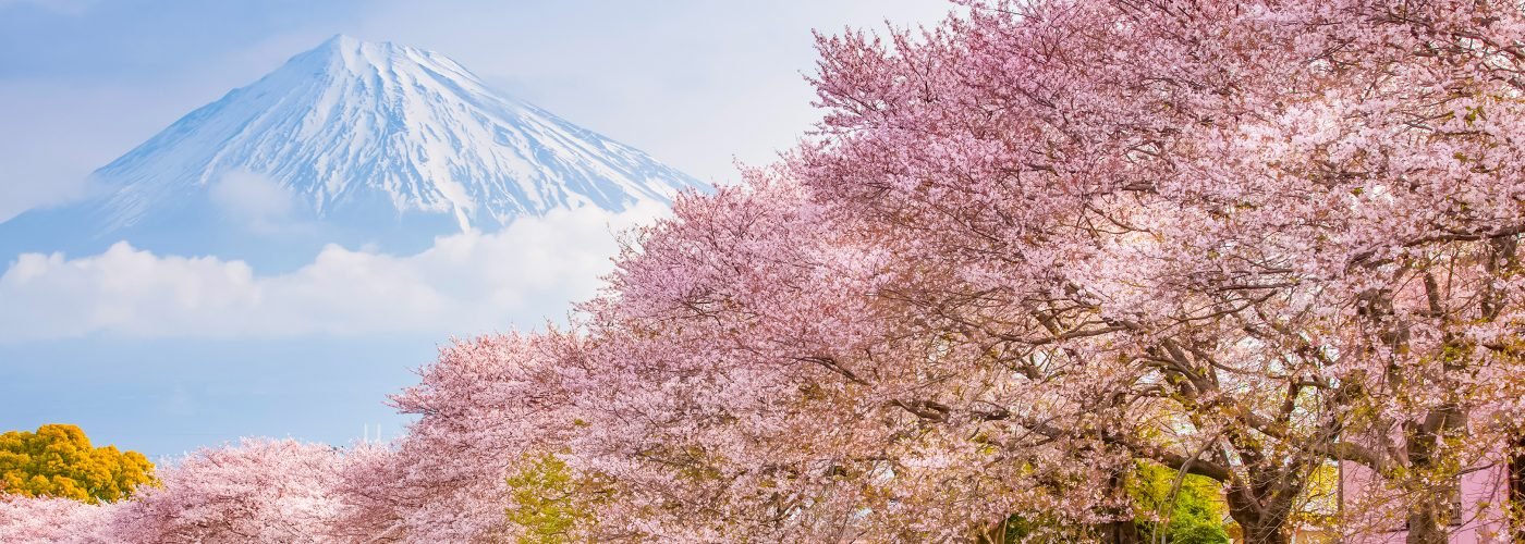 Cherry Blossoms In An