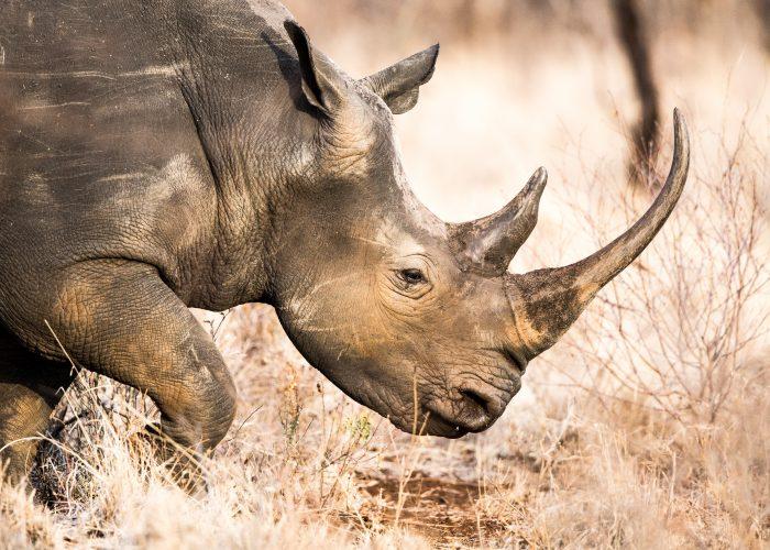 Walking with Rhinos at Thanda Safari, South Africa