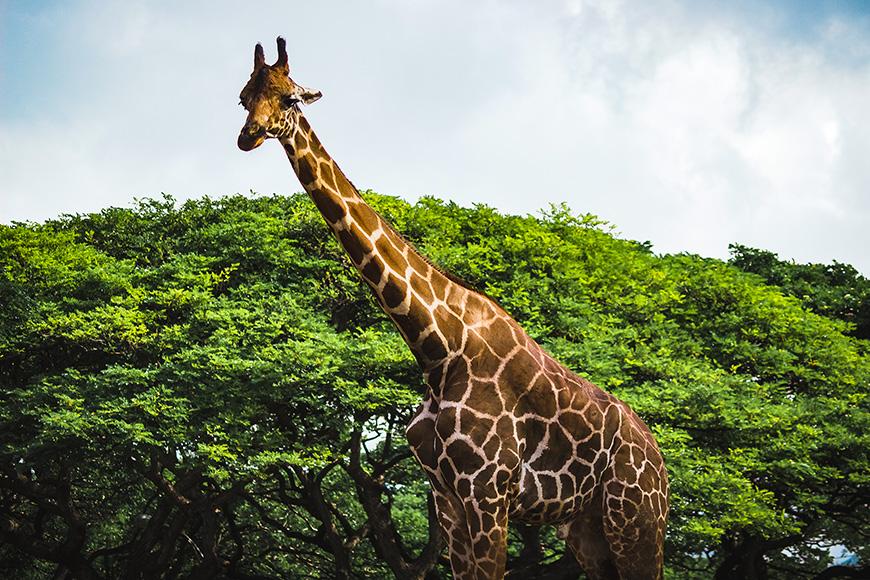 Giraffe at the honolulu zoo