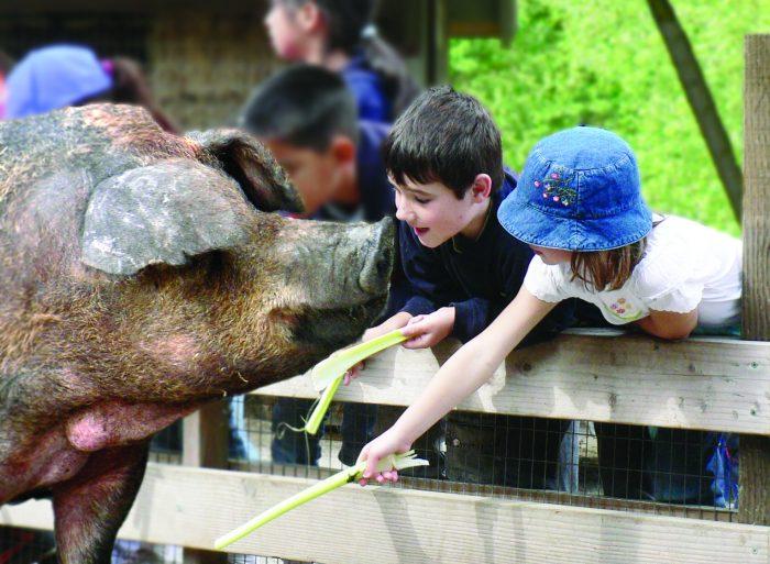 Pig and children at little farm in tilden park