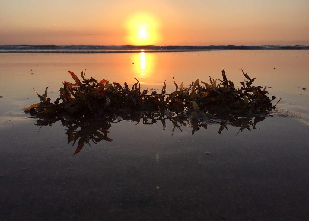Sargassum Seaweed Invades Caribbean, Florida, and Mexico