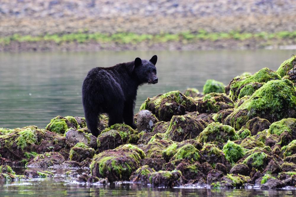 black bear in tofino