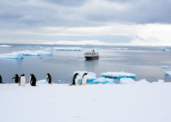 antarctic gentoo penguins standing in front of iceberg-filled waters with hurtigruten cruise ship in the background