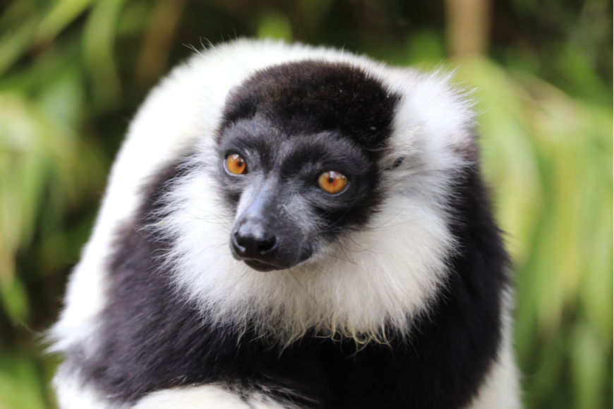 black and white ruffled lemur madagascar.