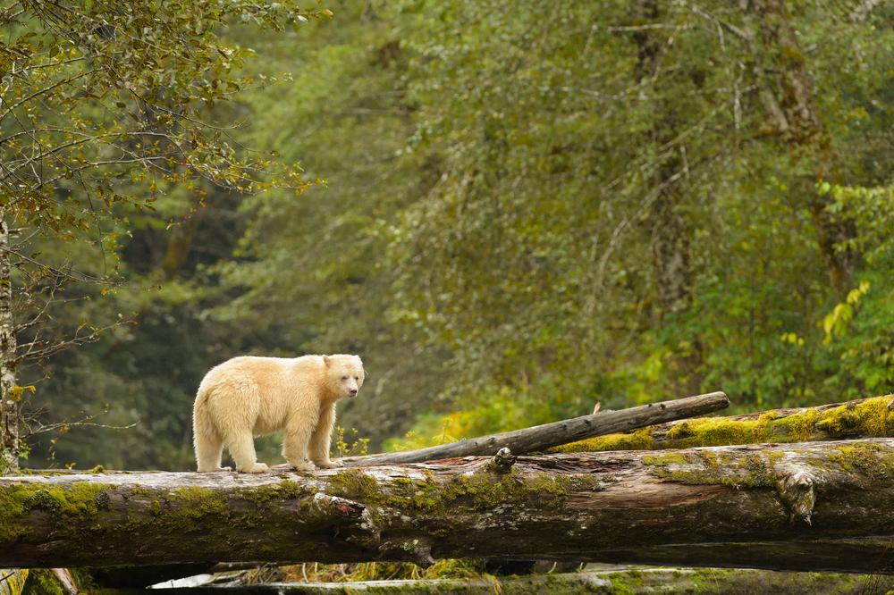 great-bear-rainforest-canada