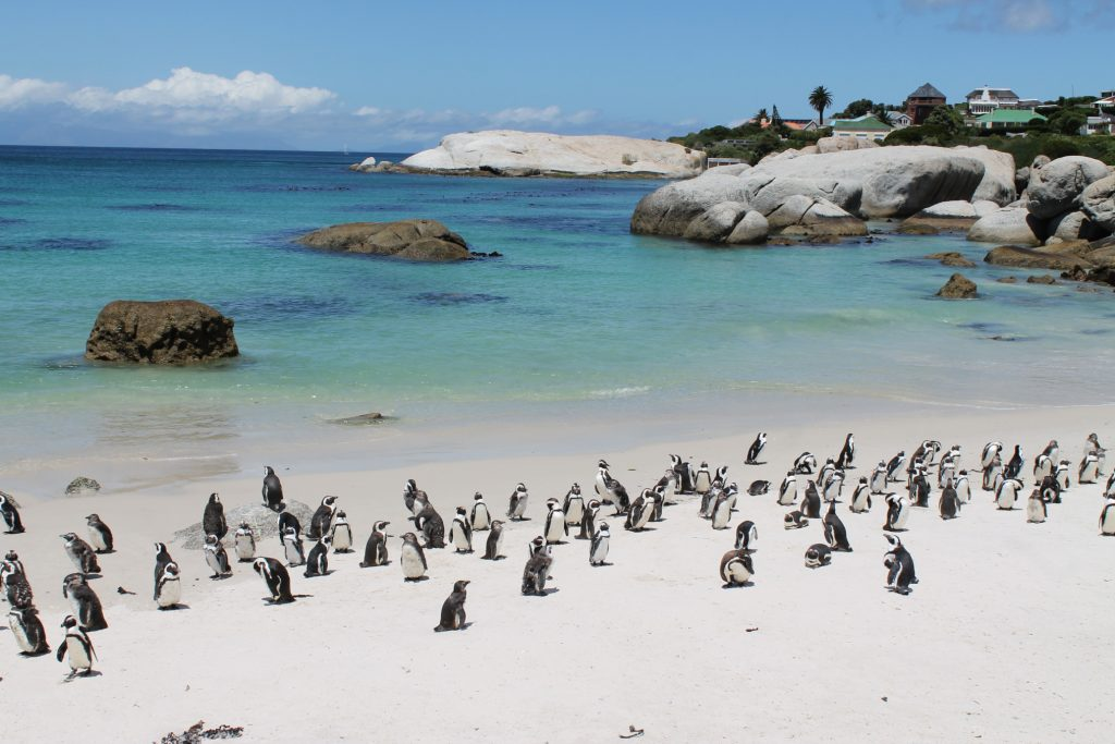 african-penguin-colony-boulders-beach-simons-town-south-africa