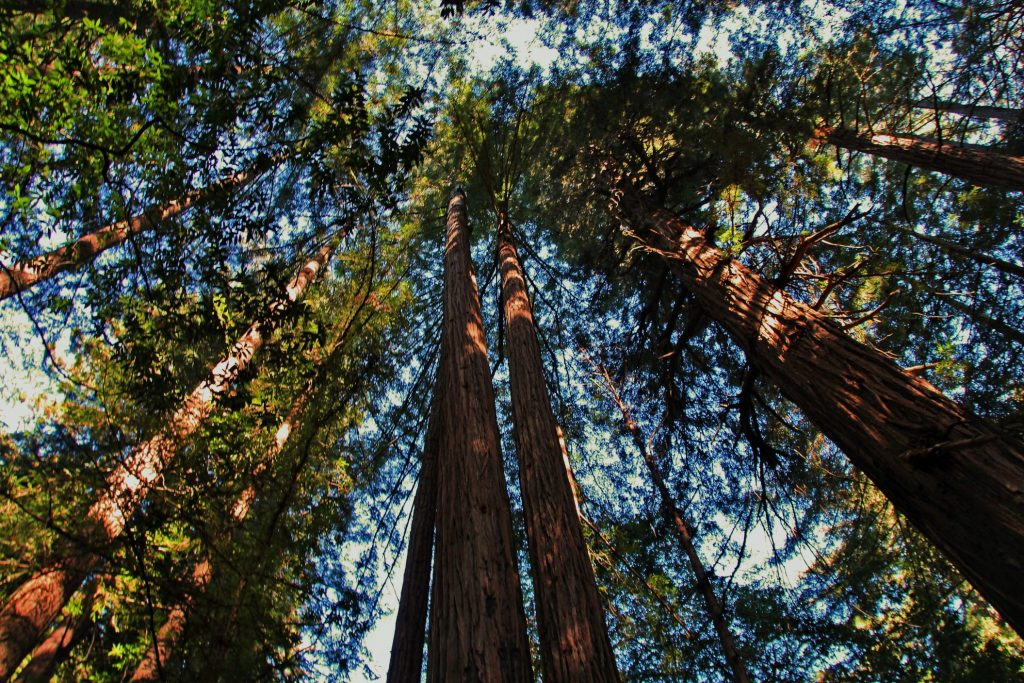 muir-woods-redwood-trees-aerial