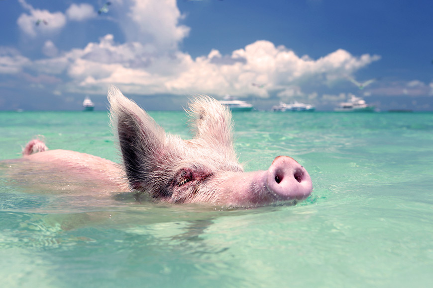 pigs swimming in big major cay staniels the bahamas