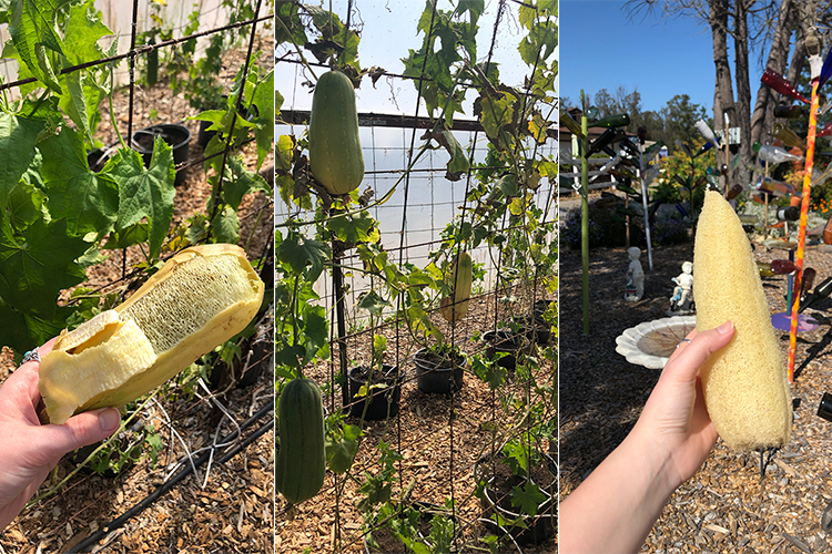Luffa farm in nipomo california.
