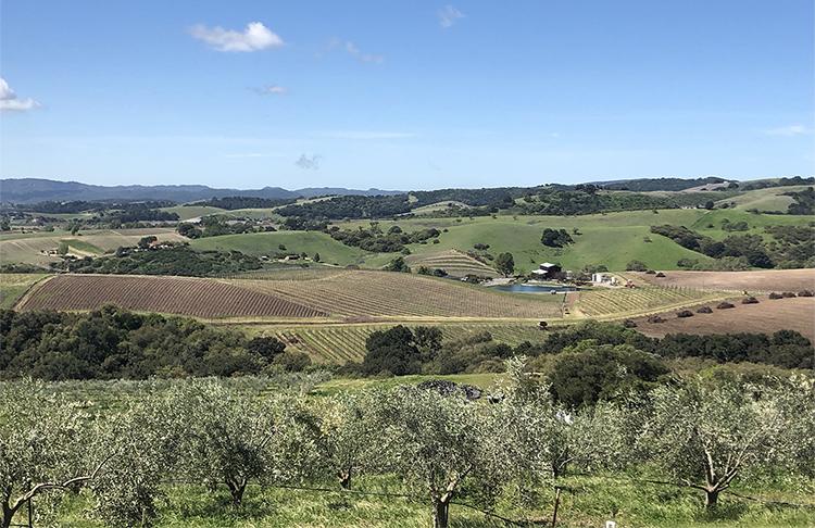 SLO cal olive grove.